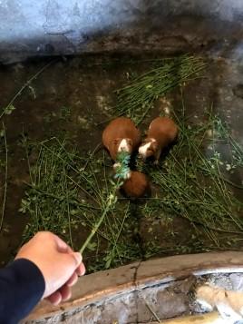 Guinea feeding